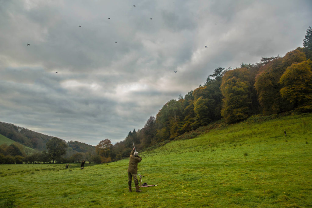 Pheasant shooting wales UK 8